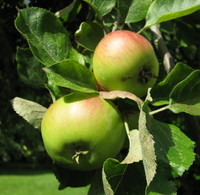apples_0001.jpg